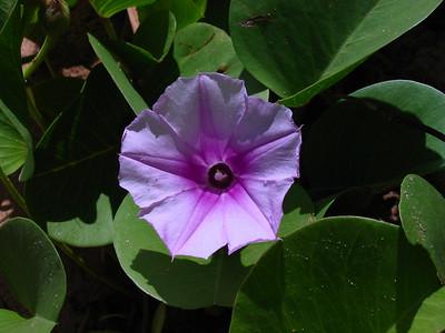 Ipomoea pes-caprae (Convolulaceae)