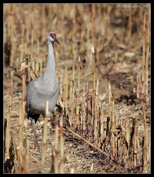 Sandhill Crane, Bosque Del Apache, Socorro, New Mexico, November 2010