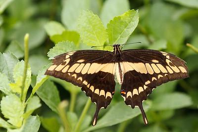 Chicago Botanical Gardens Butterfly Exhibit - 2012