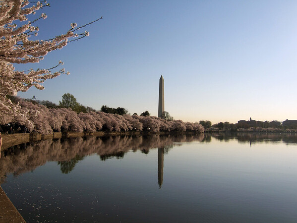Cherry Blossoms with Washington Memorial