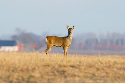 Hjortar – Deers