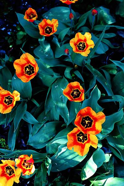Tulips at Manito...
