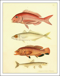 Fish Prints: Poisonous Fish from the Pacific1886