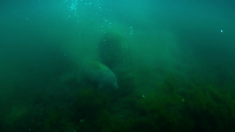 Manatee and Calf Video-2.mp4