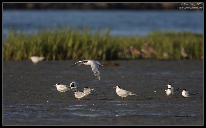 Elegant Tern with a few Forster's terns, Robb Field, San Diego River, San Diego County, California, August 2011