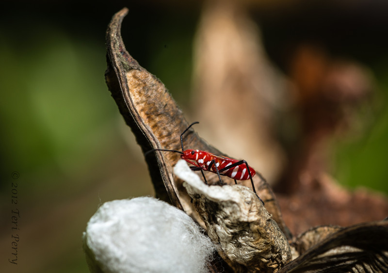 INSECT - on cotton-2329.jpg