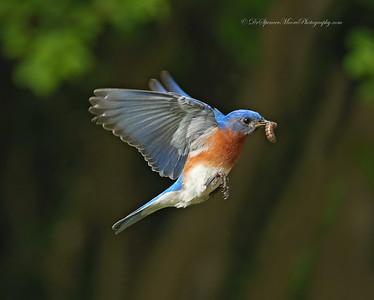 2015 Bluebirds