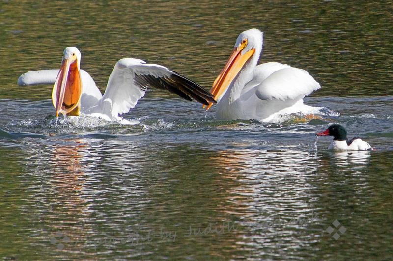 Pelican Pirates - Judith Sparhawk