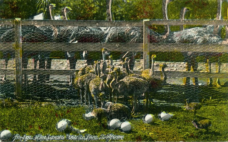 Ostrich Farm All Ages