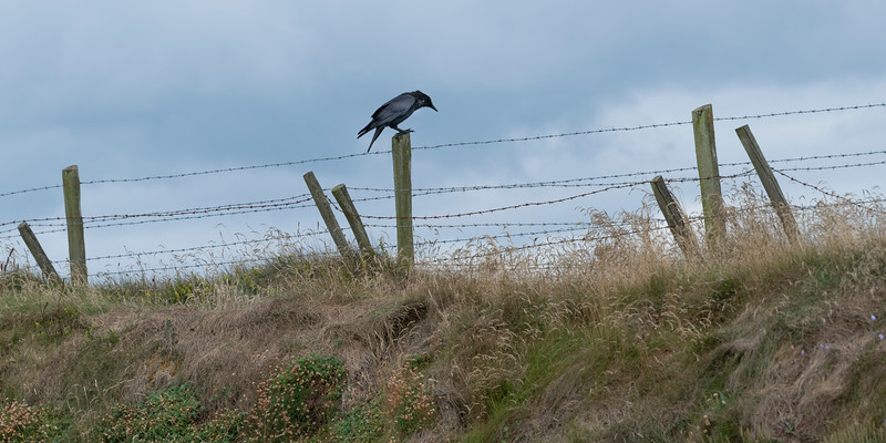 Crow perching on wooden fence, Portrush, County Atrium, Northern Ireland, Ireland