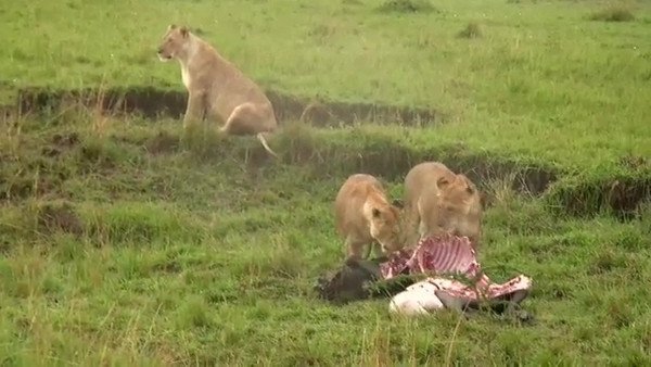 Click to play video: Lions feasting on a wildebeest.