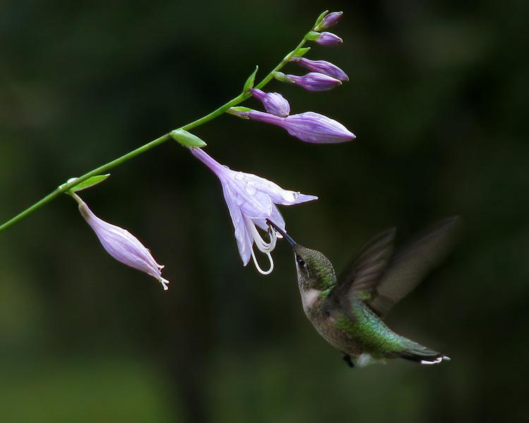 hummingbird_0410.jpg