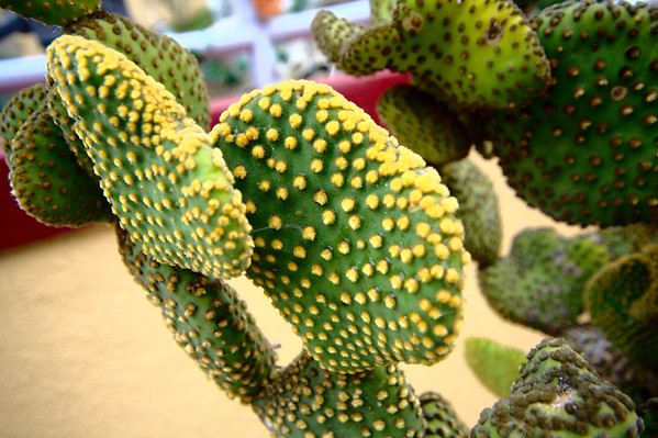 Hsi Lai Temple - Prickly Pears Cactus