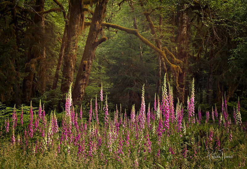 foxglove large lighter wm.jpg