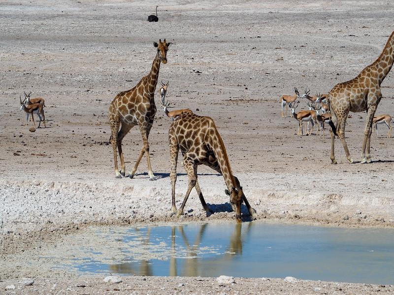 Giraffe drinking in Etosha National Park