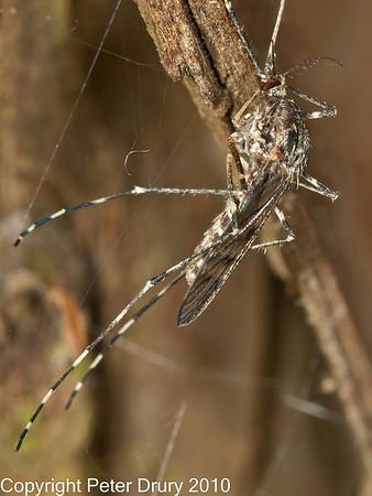 Mosquito (Culiseta annulata)