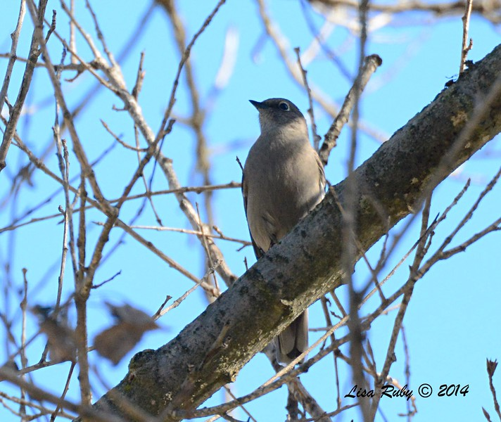 Townsend's Solitaire - 12/28/2014 - Woods Valley Campground, Escondido CBC