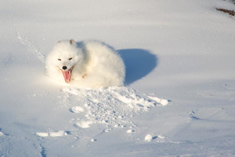 QA White Fox.jpg