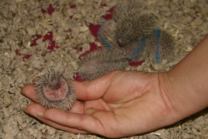 6-7 days old. Buttercup's maternal and foster litters.
