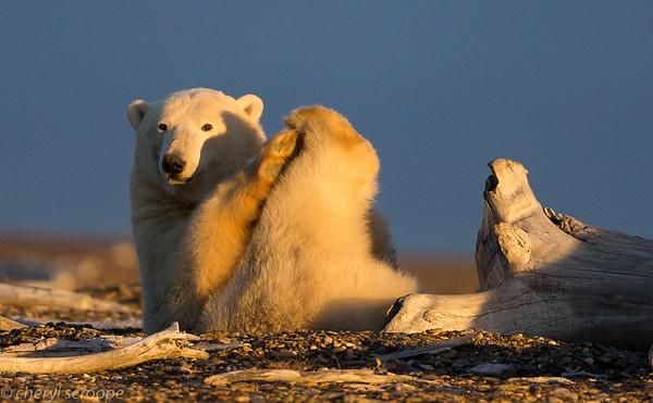 Kaktovic Polar Bears 2016