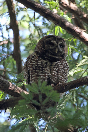 Spotted Owls Marin County 2013