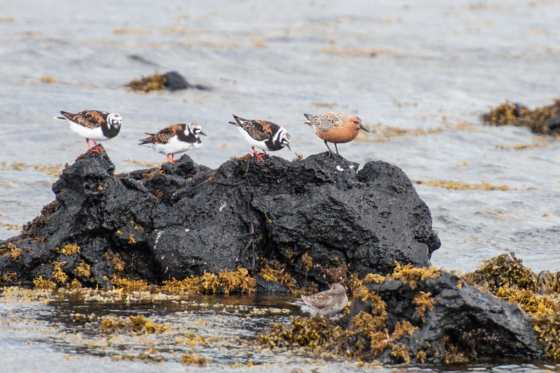 Red Knot with Ruddy Turnstones - Krossavik, Iceland
