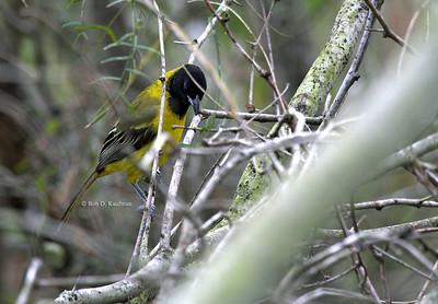 Icterus graduacauda - Audubon's Oriole
