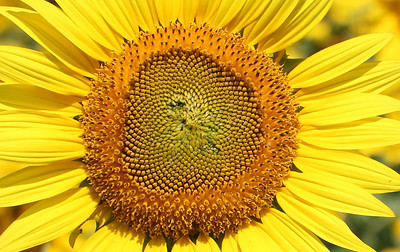 Sunflowers!    Summer 2013
