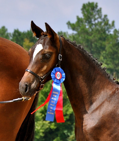 2009 Oldenburg Inspection at Signature Sporthorses