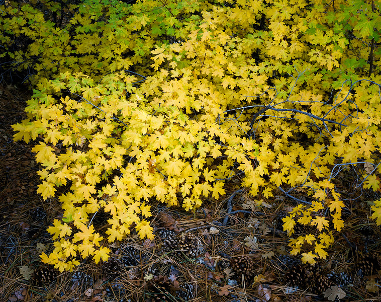 Yellow Maples.jpg