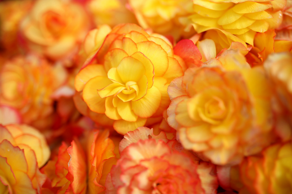 . Blaze-colored begonias fill a cardboard box in Marina on Saturday. (Kevin Johnson -- Santa Cruz Sentinel)