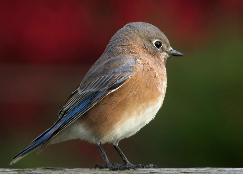 bluebird_4447.jpg