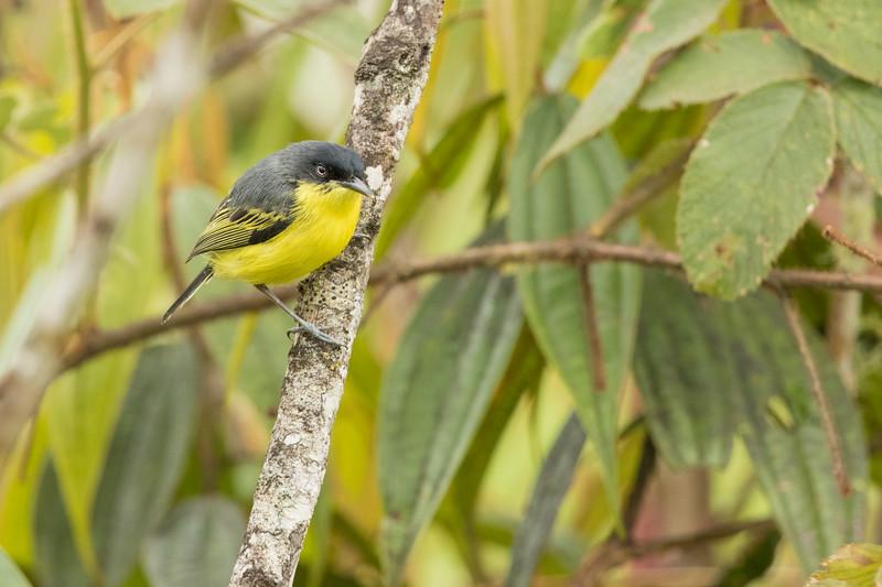 Common Tody-Flycatcher - Record - Sumaco, Ecuador