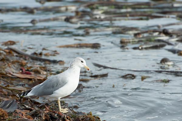 Birds near Sooke, Vancouver Is. 2011
