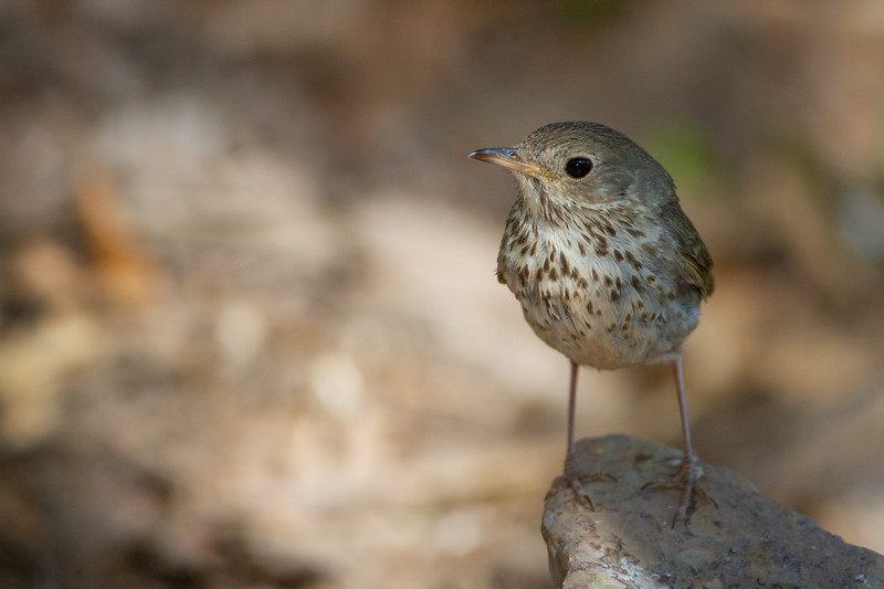 Hermit Thrush - Carr Canyon, AZ, USA