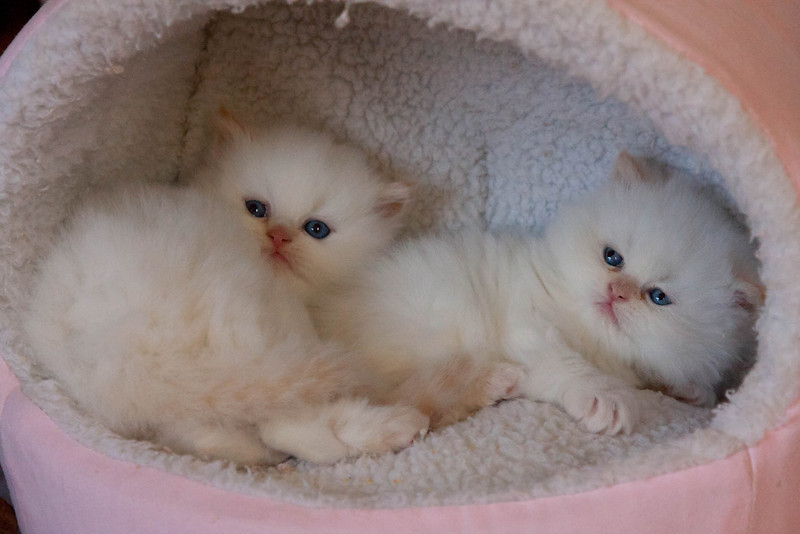 Himi_Kittens_Nov30-7922.jpg
