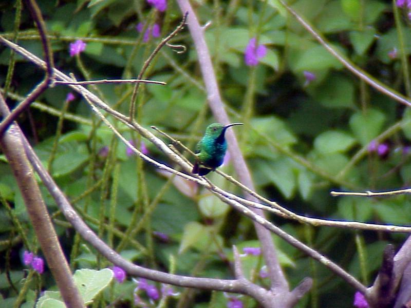 Green-breasted Mango at Rancho Naturalista Costa Rica 2-12-02 (50898147)