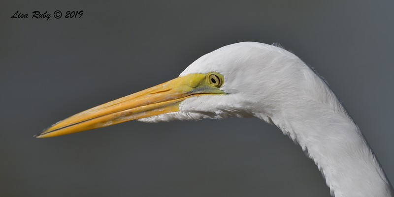 Great Egret  - 12/01/2019 - Lindo Lake