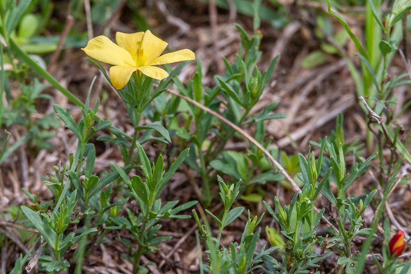 Menodora heterophylla - Redbud