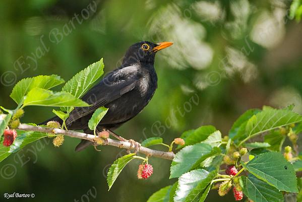 שחרור - Common Blackbird (Turdus merula)