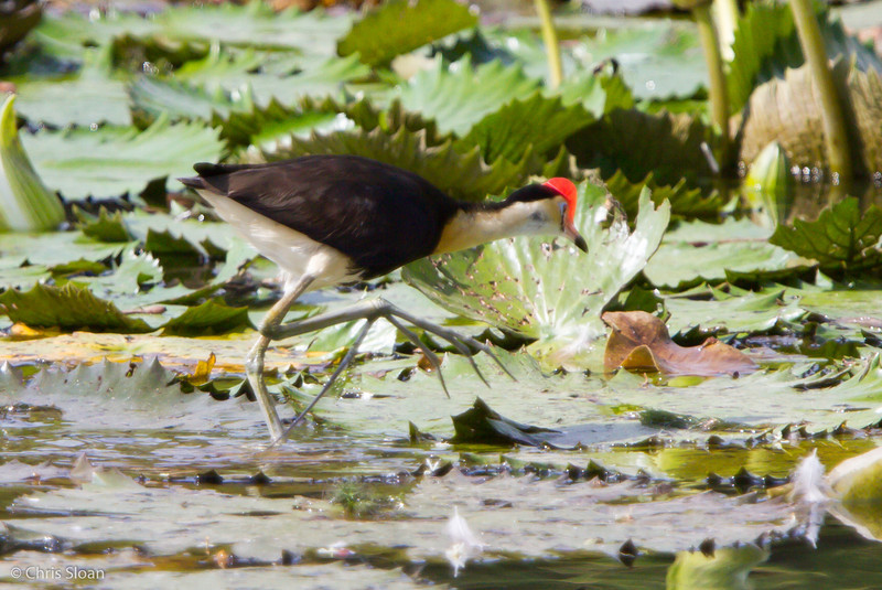 Comb-crested Jacana at Pacific Adventist University, Port Moresby, Papua New Guinea (09-29-2013) 009-120.jpg