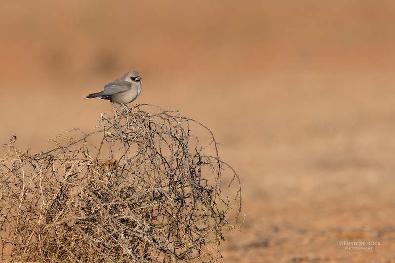 Black-faced Woodswallow, Bowra, Cunnamulla, QLD, Aus, Sept 2017-1.jpg