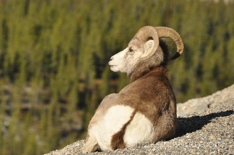 Stone Mountain Sheep