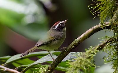 Blackcheeked Warbler