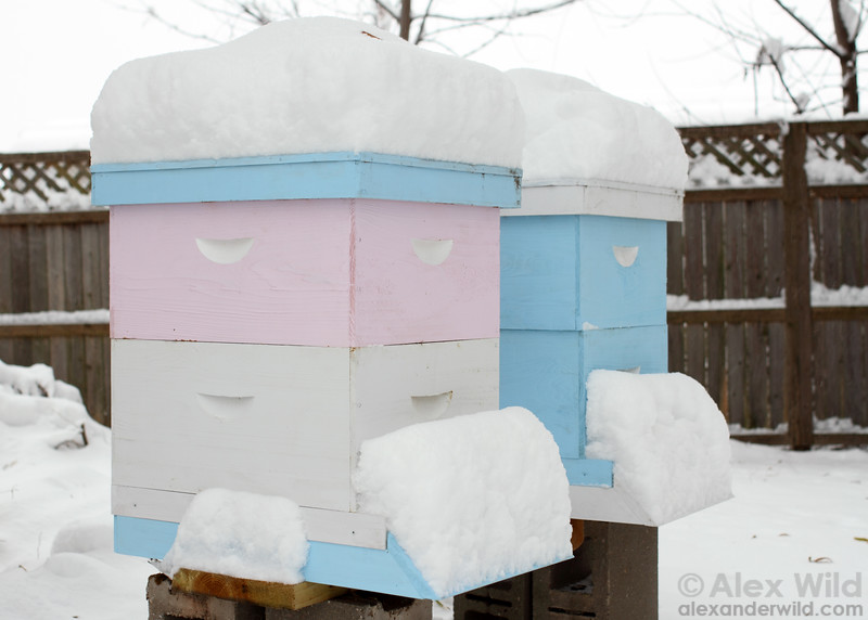 Langstroth hives overwintering with two hive bodies each.