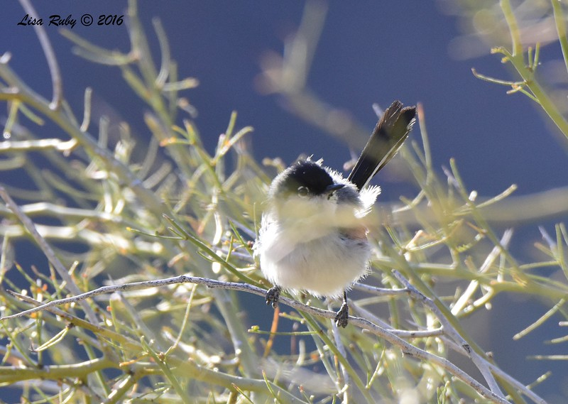 Black-tailed Gnatcatcher -  4/18/2016 - McDowell Sonoran Preserve, Scottsdale, AZ