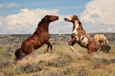The Fighting Wild Stallions