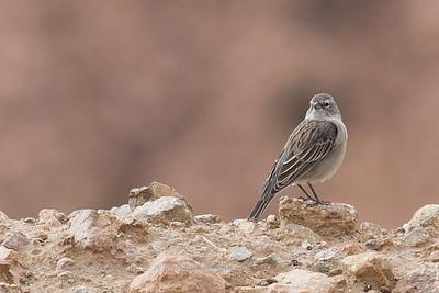 Ash-breasted Sierra Finch, Plebeyo (Phrygilus plebejus)