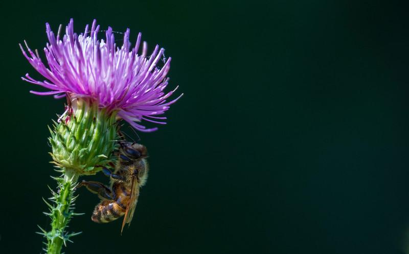 Bee-thistle-osinga-farm2.jpg