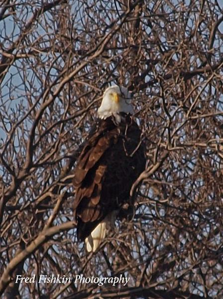 eagle on delaware 03_17_09.jpg